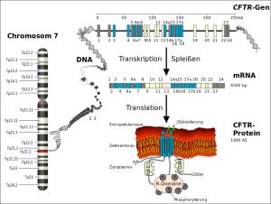 Vom Gen zum defekten Protein: So entsteht das CF-Eiweiß (von Kuebi = Armin Kübelbeck [CC BY-SA 3.0] via Wikimedia Commons)