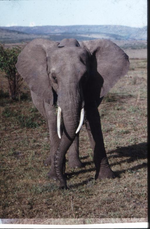 Elefantenbulle im Masai Mara Nationalpark, Kenia 1991